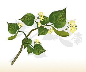 Tilleul à grandes feuilles