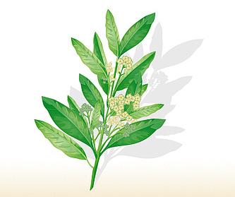 Piment de Jamaïque
