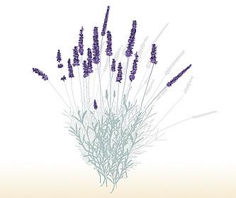 Lavendel, Echte